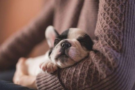 boston-terrier-puppy-sleeping
