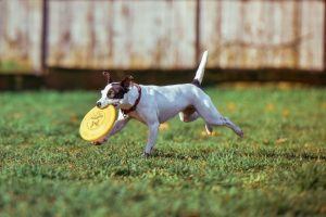dog-playing-frisbee